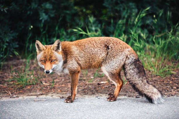 fox on the road - fox stock photos and pictures