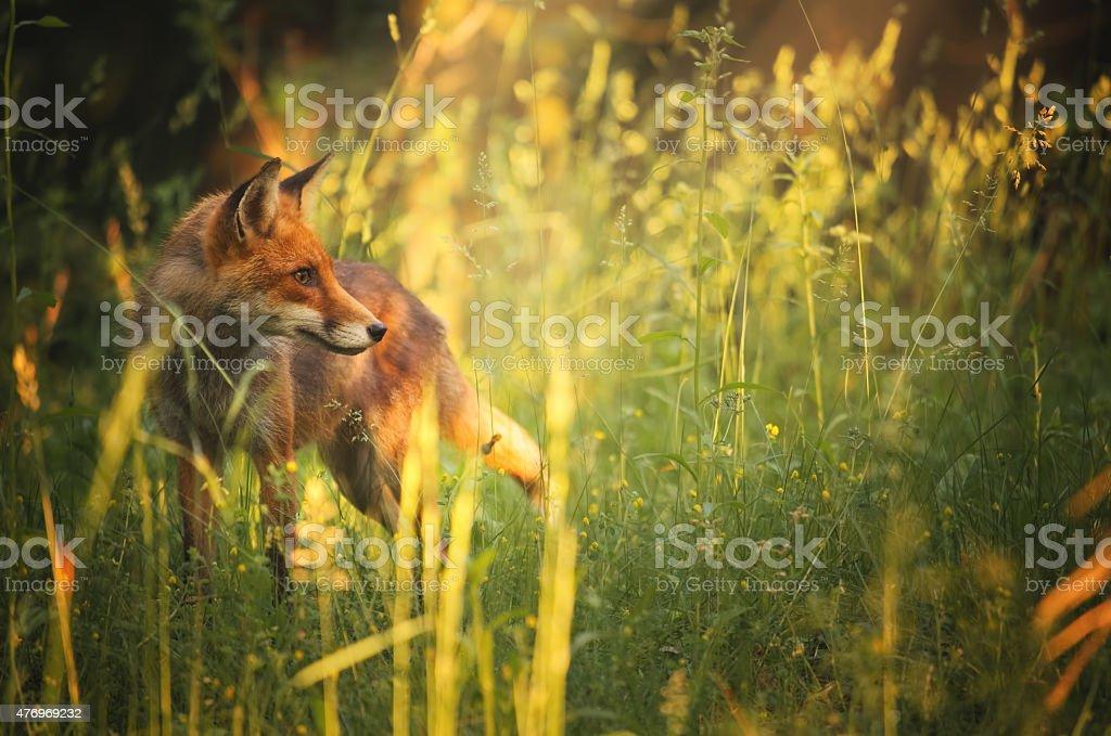 Fox na floresta de verão - foto de acervo