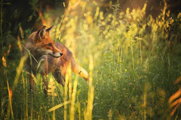 fox en el bosque de verano - zorro fotografías e imágenes de stock