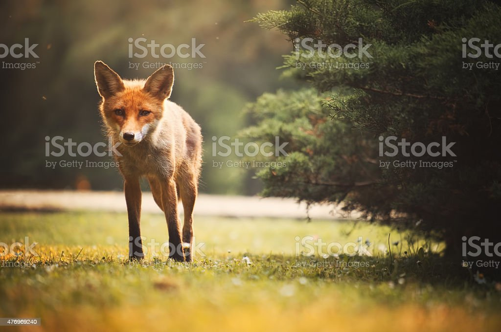 Fox on the summer forest stock photo