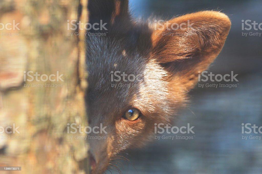 Fox Peek 2 royalty-free stock photo