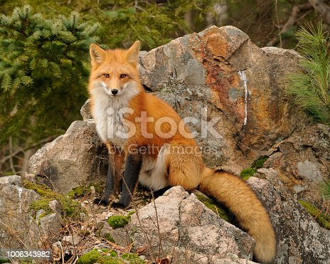 Fox enjoying its surrounding.