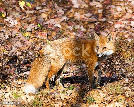 Red fox enjoying their surrounding.