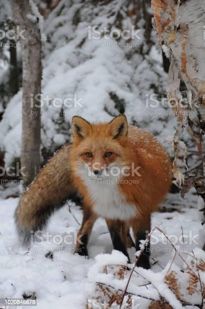Fox picture id1020846678?b=1&k=6&m=1020846678&s=612x612&h=1 kch  iuoqfuj6fw zi2otqaqvw4x9m0mvybhuxfpq=