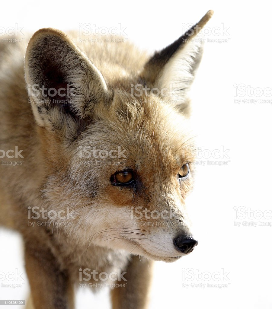fox royalty-free stock photo