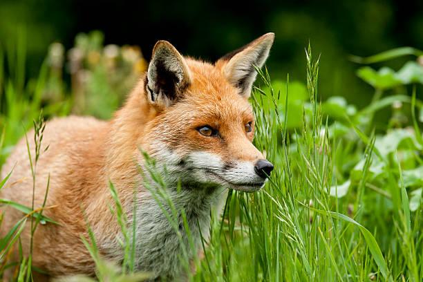 fox - zorro fotografías e imágenes de stock