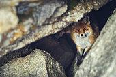 Fox portrait. Looking at camera