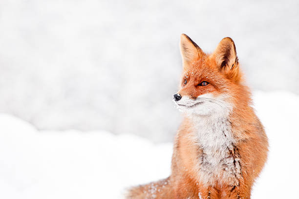 fox portrait - fox stock photos and pictures