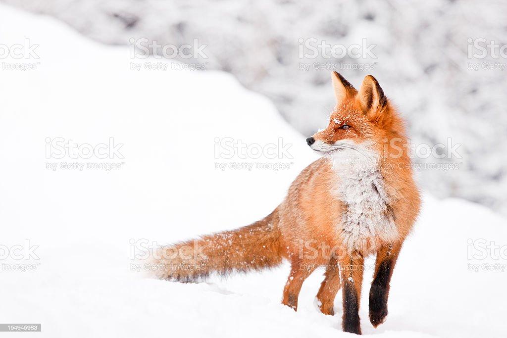 Fox portrait stock photo
