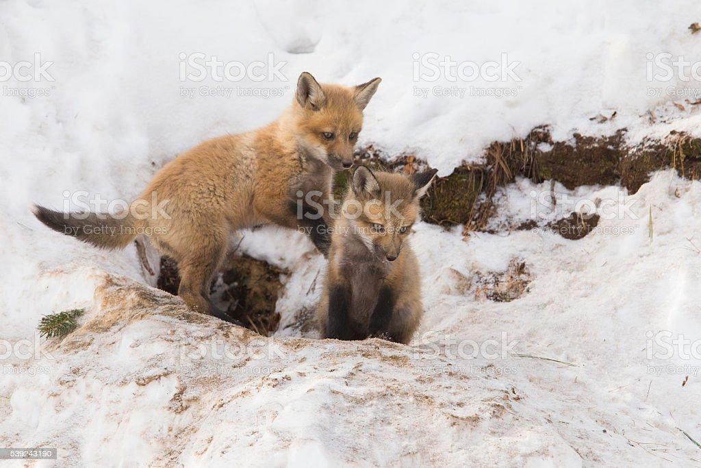 Fox las crías foto de stock libre de derechos