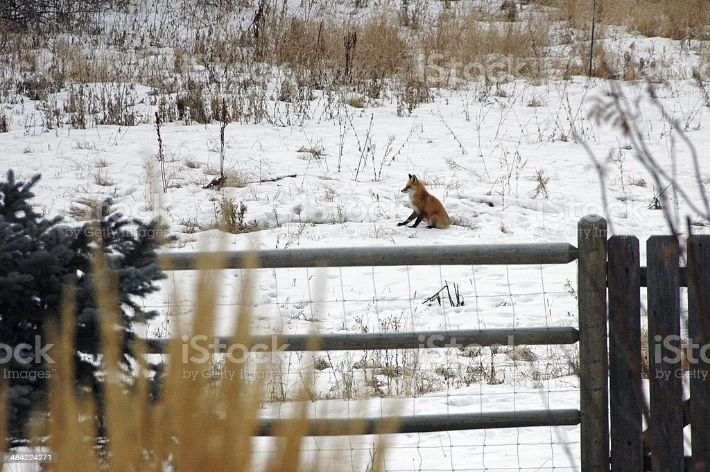 Fox relaxing in snowy field just outside of fence stock photo