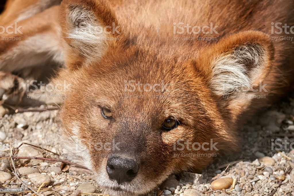 Fox resting and enjoy on the sun stock photo