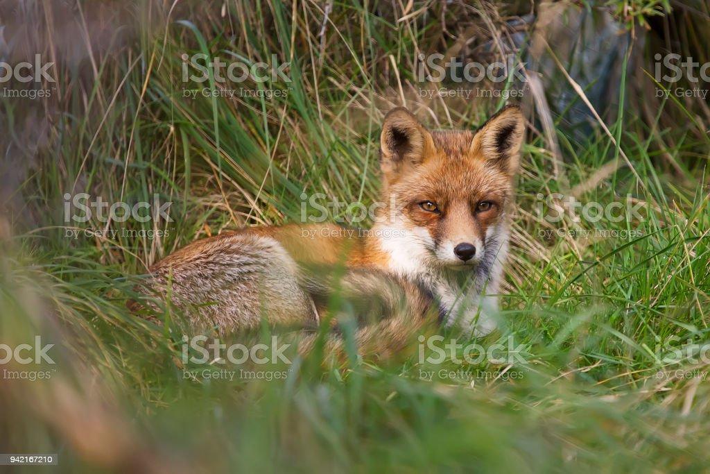 Fox, ruht in Rasen – Foto