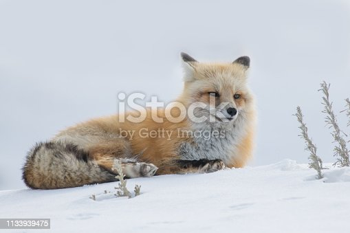 Fox resting on sunny, snowy hillside in Yellowstone