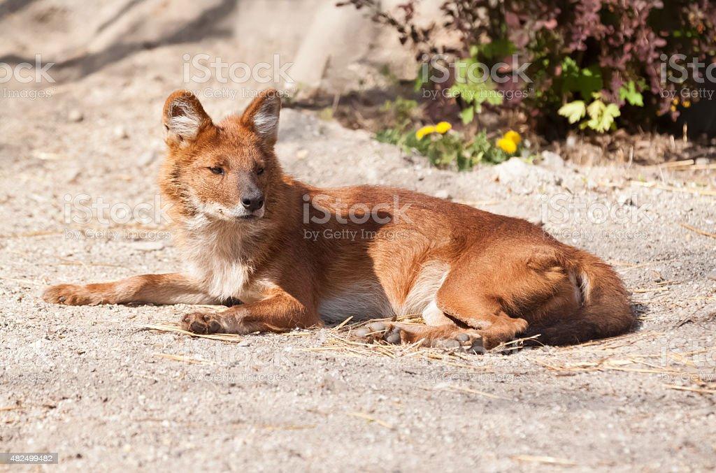 Fox resting on the sun stock photo