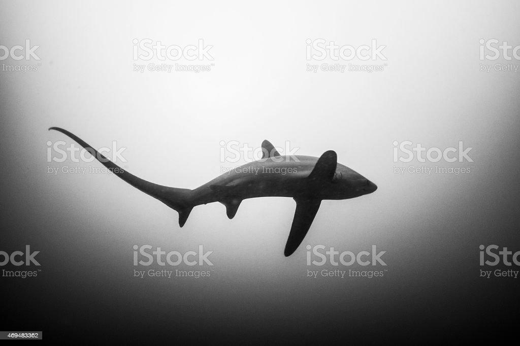 Fox shark stock photo