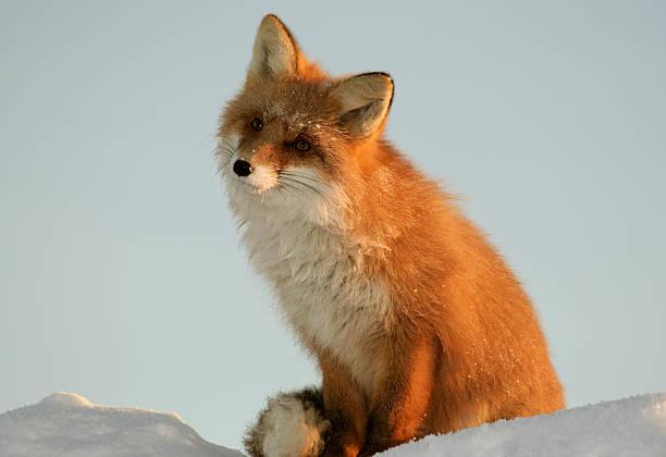 fox s'encuentra sobre nieve amontonada y dreams en puesta de la luz. - zorro fotografías e imágenes de stock