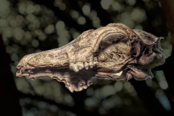 fox skull cranium as found in forest vulpes vulpes - whiteway fox stock photos and pictures