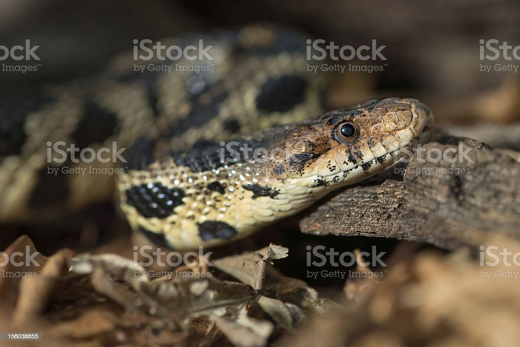 Fox snake royalty-free stock photo