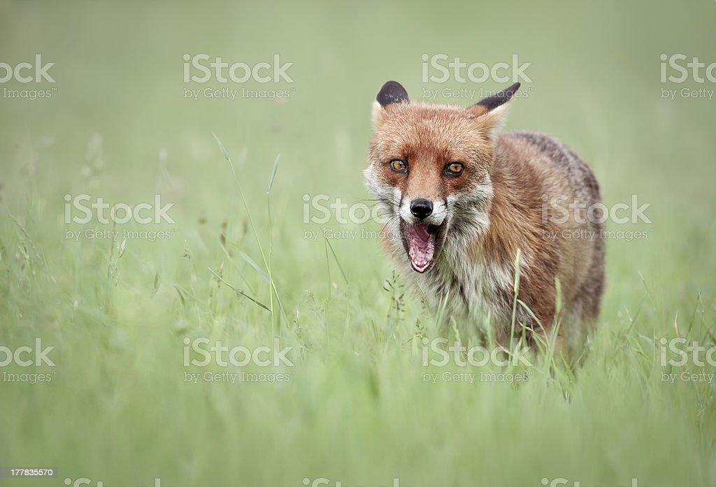 Fox Snarl royalty-free stock photo