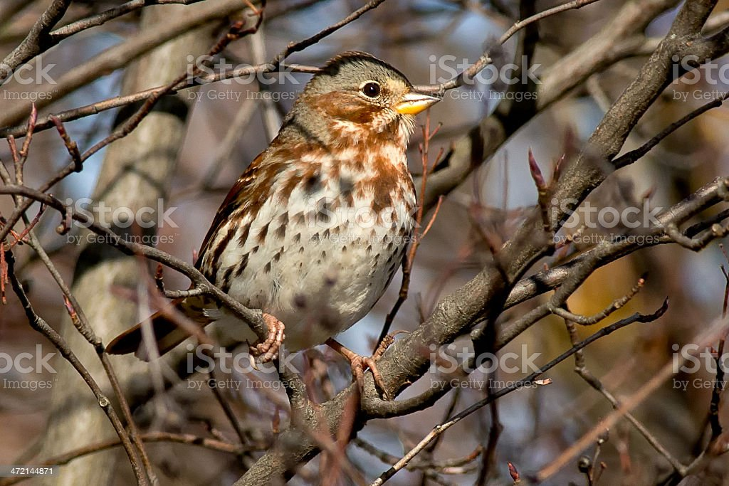 Fox Sparrow stock photo