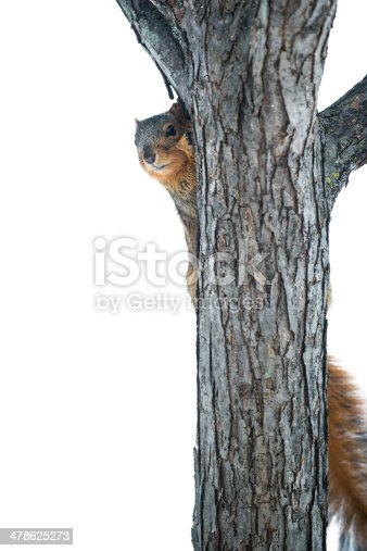 A Fox Squirrel hide on the back side of a tree trunk, peeking around the side.  Isolated on white.