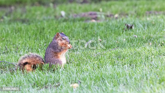 A fox squirrel is eating an acorn in the grass.