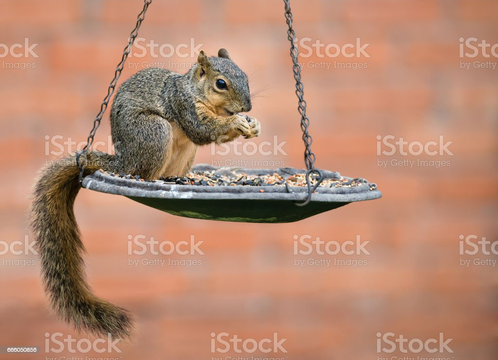 Fox squirrel eating seeds from bird feeder stock photo