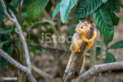A large tree rodent hanging on top of a branch in Weslaco