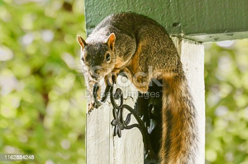 a juvenile fox tail squirrel realizes he is being watched while attempting to raid a bird feeder