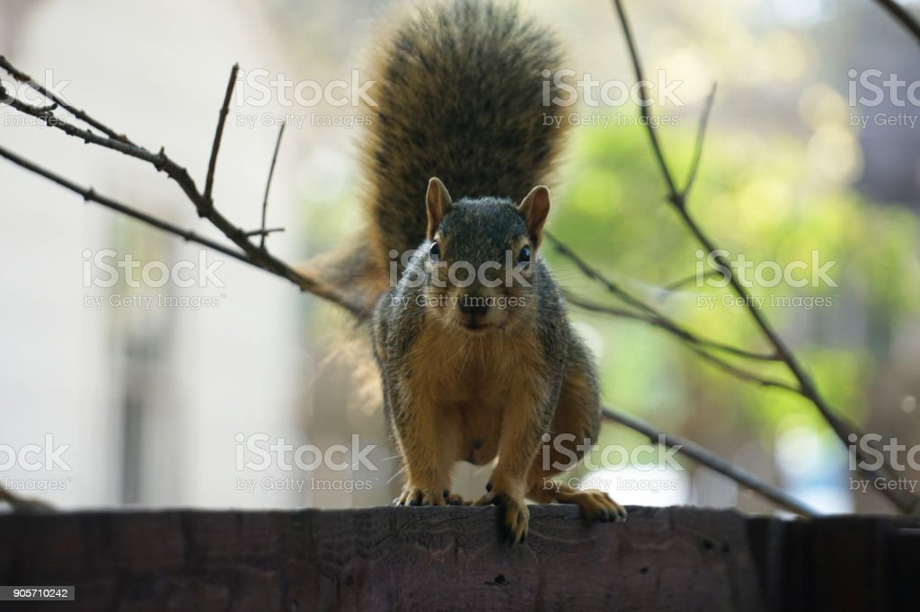 Fox Squirrel on the fence stock photo