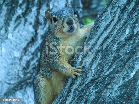 Fox squirrel on the trunk of an oak tree in Plano, Texas