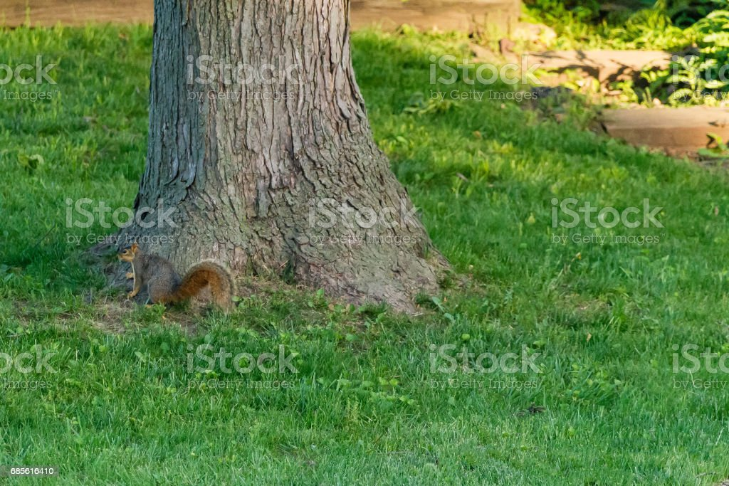 fox squirrel pausing next to a tree royalty-free stock photo
