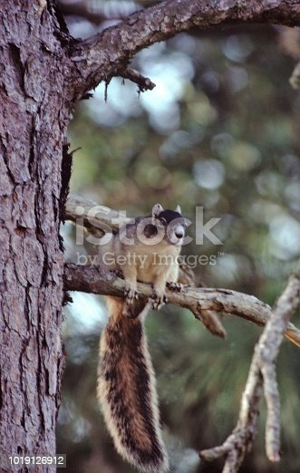 Fox Squirrel (Sciurus Niger). Photographed by acclaimed wildlife photographer and writer, Dr. William J. Weber.