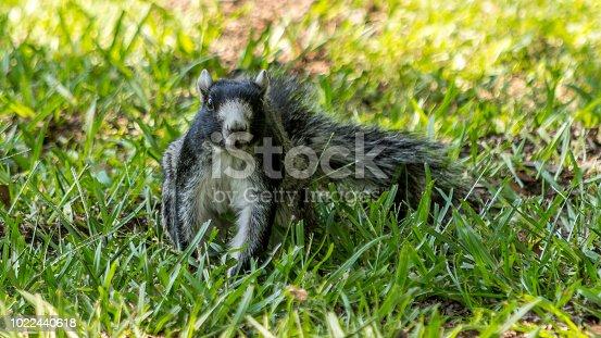 fox squirrel in grass