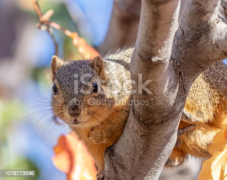 A curious Fox Squirrel peers out from a tree.