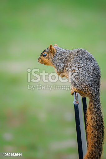 Fox squirrel perched on a pole in Missouri USA