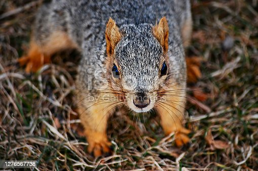 Fox squirrel on the ground in Denver