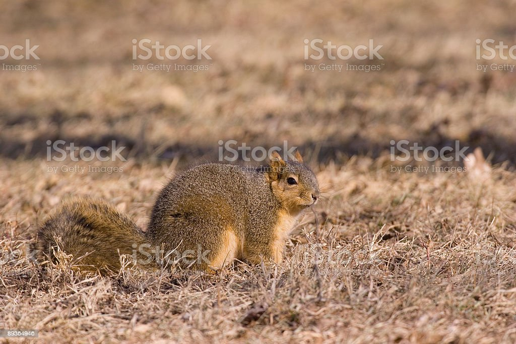 Fox Squirrel royalty-free stock photo