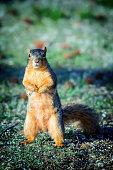 Fox squirrel up a tree in Missouri USA