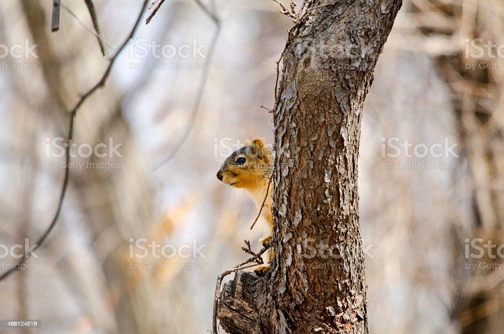 Fox Squirrel plays peek-a-boo stock photo