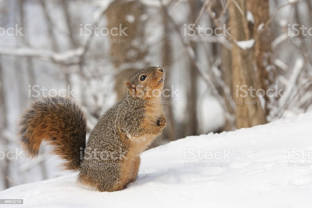 Fox Squirrel (Sciurus niger} royalty-free stock photo
