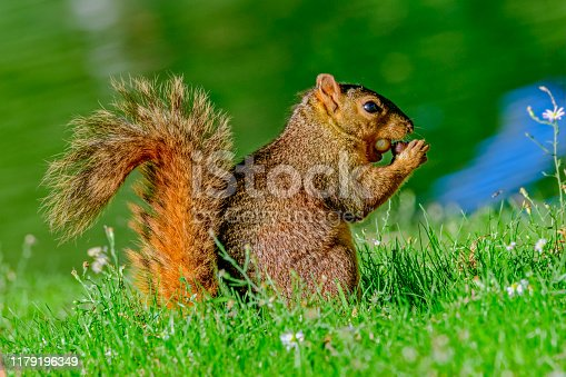 fox squirrel (Sciurus niger) with two acorns stuffed in it's mouth as it prepares for fall