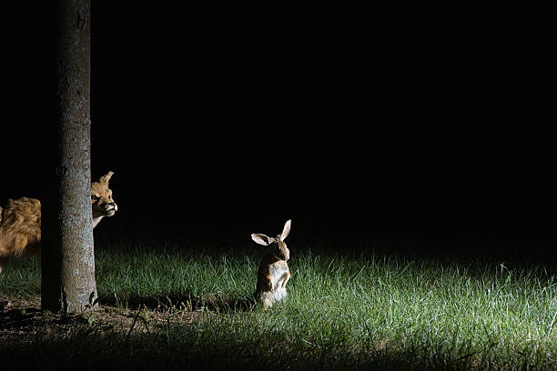 Fox stalking rabbit  creepy stalker stock pictures, royalty-free photos & images