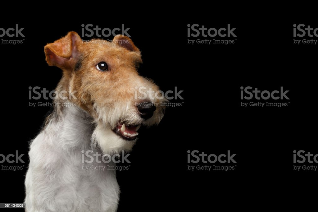 Fox Terrier Dog on Isolated Black Background royalty-free stock photo