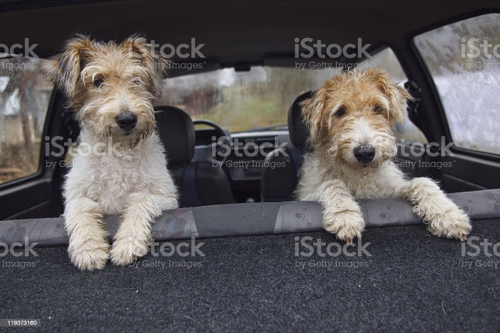 Fox terrier in the car stock photo