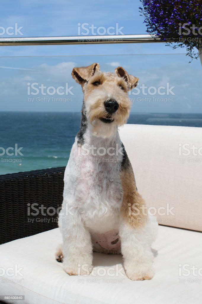 Fox Terrier stock photo