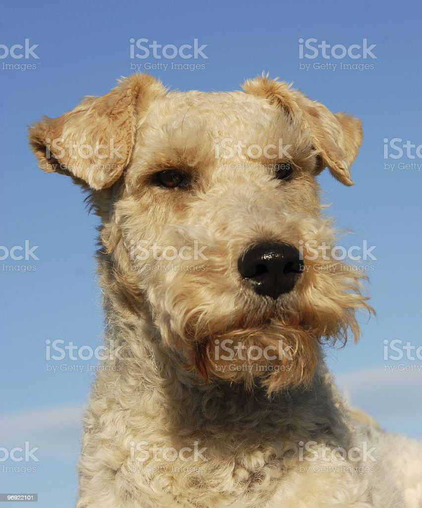 fox terrier royalty-free stock photo