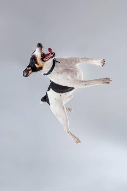 Fox terrier posing in studio on grey background picture id669223524?b=1&k=6&m=669223524&s=612x612&w=0&h=p79zenljfqyiakt2cnrlzv1jg6kzsoadarathvtkzfm=