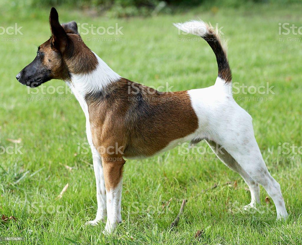 Fox Terrier standing stock photo